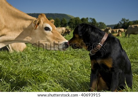 Rottweiler licking inquisitive cow - stock photo