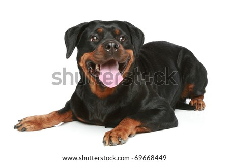 Rottweiler lies on a white background - stock photo