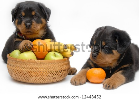 Rottweiler puppies with fruits - stock photo