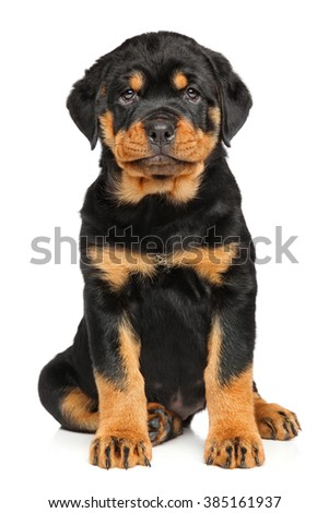 Rottweiler puppy dog in front of white background - stock photo
