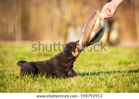 Rottweiler puppy playing  - stock photo