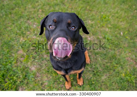 Rottweiler sitting looking at the camera - stock photo