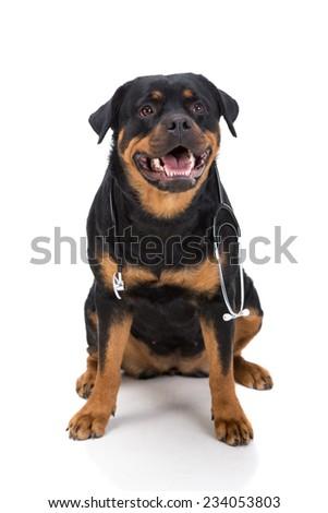 Rottweiler with stethoscope around neck, isolated on white background. - stock photo