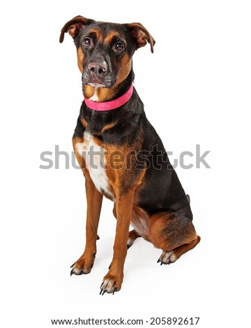 Rottweiller mixed breed dog wearing a pink collar sitting looking into the camera - stock photo