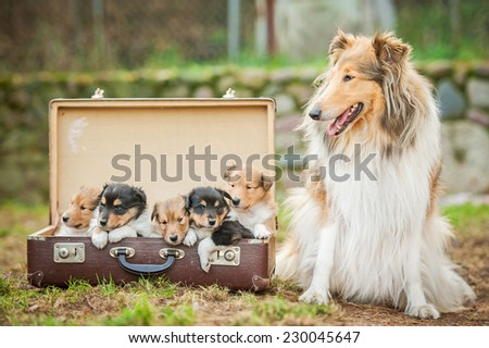 Rough collie dog with little puppies sitting in the suitcase - stock photo