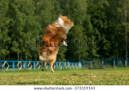 Rough collie jumping in the park Dog in motion - stock photo