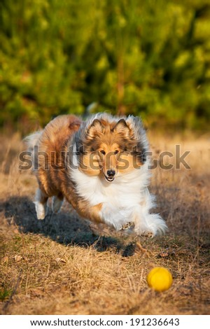 Rough collie playing with ball  - stock photo