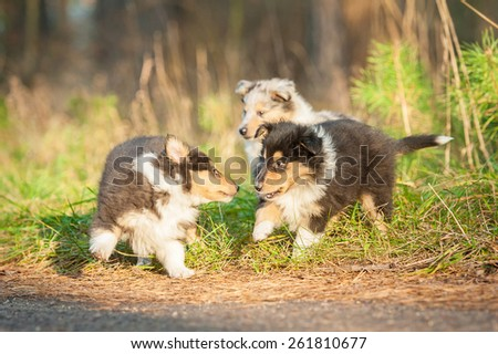 Rough collie puppies playing outdoors - stock photo