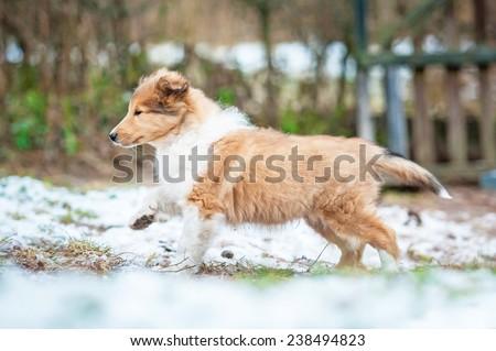 Rough collie puppy running in winter - stock photo
