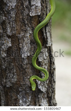 Rough Green Snake on a tree - stock photo