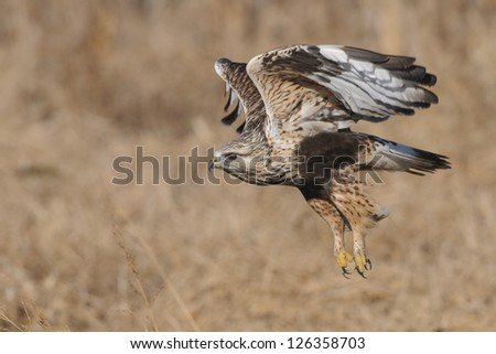 Rough-legged Hawk - Light Form - stock photo