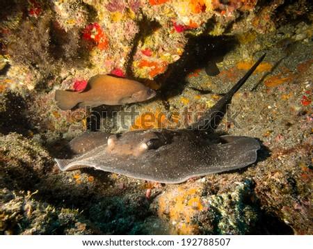 Round stignray with soapfish - stock photo