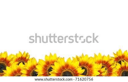 Row of Beatiful Fresh Sunflowers Isolated on White. Helianthus theme - stock photo