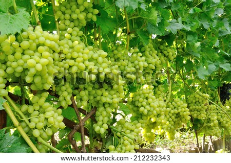 row of blue and green grape full of fruits - stock photo