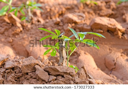 row of cassava tree in field - stock photo