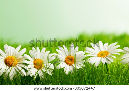 Row of chamomiles in spring grass close up - stock photo