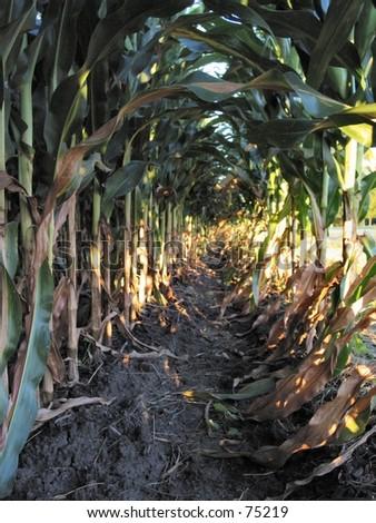 Row of Field Corn - stock photo