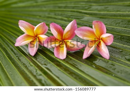 Row of frangipani flowers and palm leaf texture - stock photo