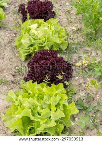 Row of green and red lettuce growing on garden patch - stock photo