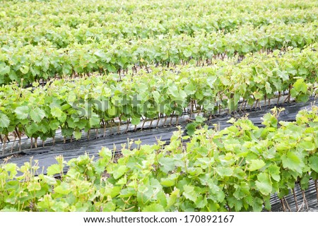 Row of growing vine saplings with selective focus - stock photo