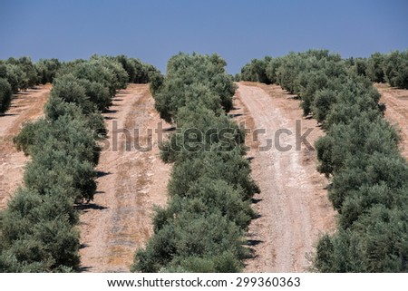 Row of olive trees in Spain - stock photo