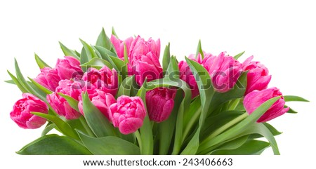 row  of pink tulip flowers   isolated on white background - stock photo