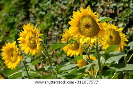 Row of Sunflowers - stock photo