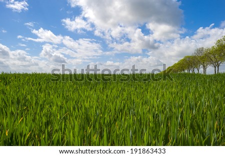 Row of trees along a field with crop in spring - stock photo