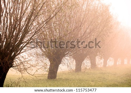 row of willows at sunrise on a misty morning - stock photo