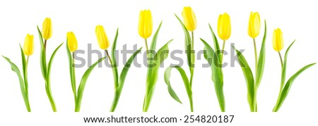 Row of 9 yellow tulips complete with flowers, stems and leaves, isolated on a white background. Banner crop. - stock photo