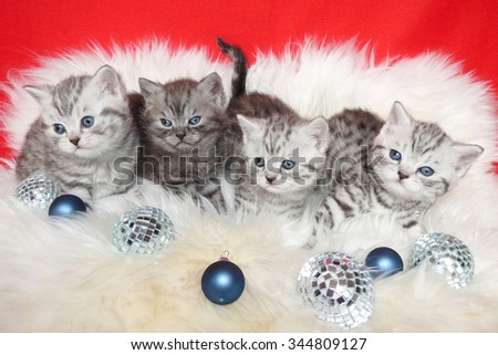 Row of young british short hair black silver tabby spotted kittens lying on sheep skin with christmas baubles - stock photo