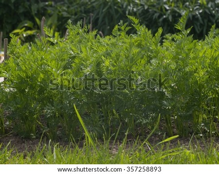 Row of young carrots growing in the garden. Organic garden in the small village farm. Detail of green carrot leaves and grass around. ready to be picked up directly to the kitchen for cooking. - stock photo