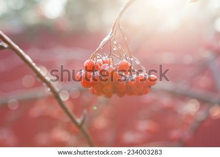 Rowan berries against the sun light - stock photo