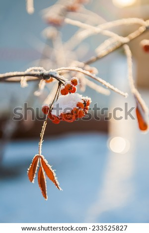 Rowan berries in the frost. Soft focus. Beautiful winter nature - stock photo