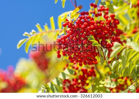 rowan berry - stock photo