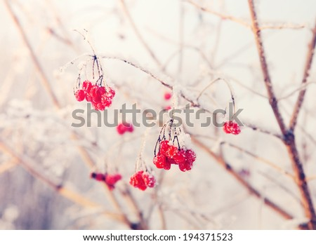 rowan branches covered with hoarfrost  - stock photo