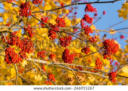 Rowan in autumn with yellow leaves at the back - stock photo