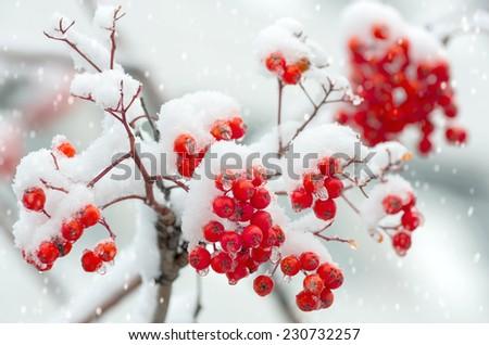 Rowan in snow - stock photo