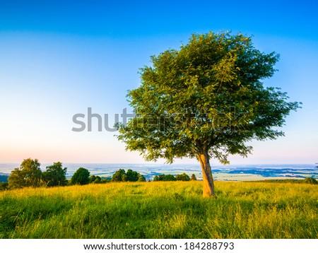 Rowan tree in landscape - stock photo
