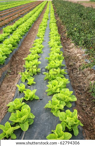 rows and rows of fresh green lettuce growing in a field on a farm in irvine california - stock photo