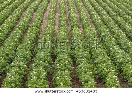 Rows and rows of Potato Plants grow in Idaho Agricultural Farms - stock photo