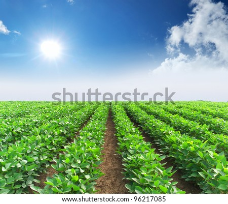 Rows from green vegetable on field. Bright sun and blue sky - stock photo