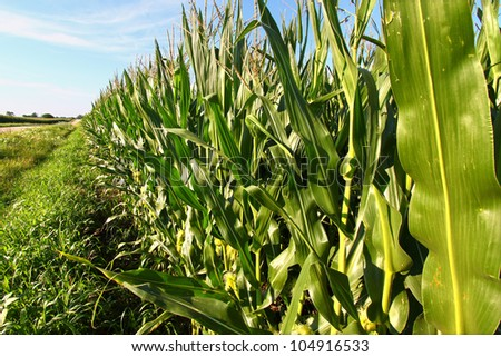 Rows of an Illinois cornfield stretch into the distance on a beautiful sunny day - stock photo