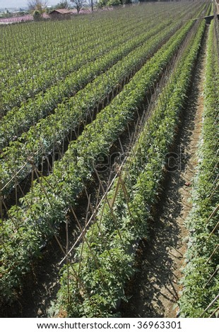 Rows of bamboo canes support young tomato plants.  This is rich agricultural land and is used for intensive farming. - stock photo