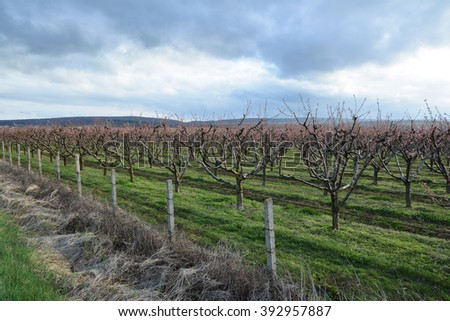Rows of blooming cherry trees in an orchard - stock photo