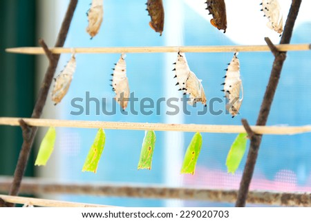 Rows of butterfly cocoons - stock photo