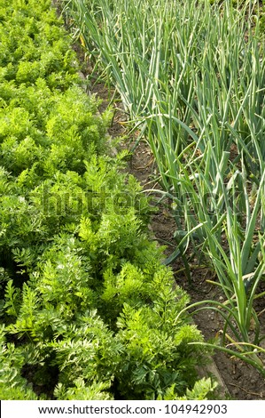Rows of carrots and onions in an allotment - stock photo