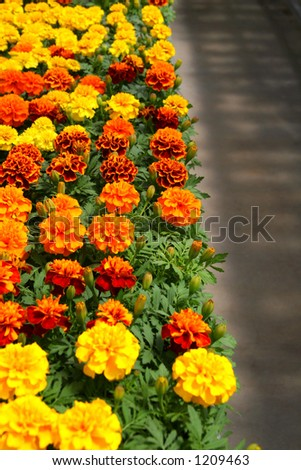 Rows of chrysanthemums in a nursery. - stock photo