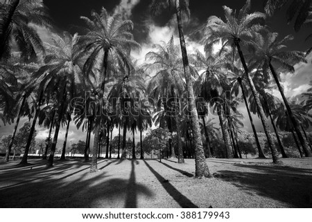 Rows of coconut trees in black and white infrared. Soft focus and slight motion blue due to infrared photography and high contrast processing. - stock photo