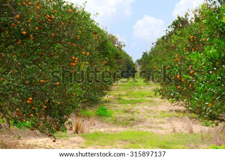 Rows of Florida orange trees in an orange grove on a beautiful fall morning showing the trees full of ripe juicy oranges, - stock photo